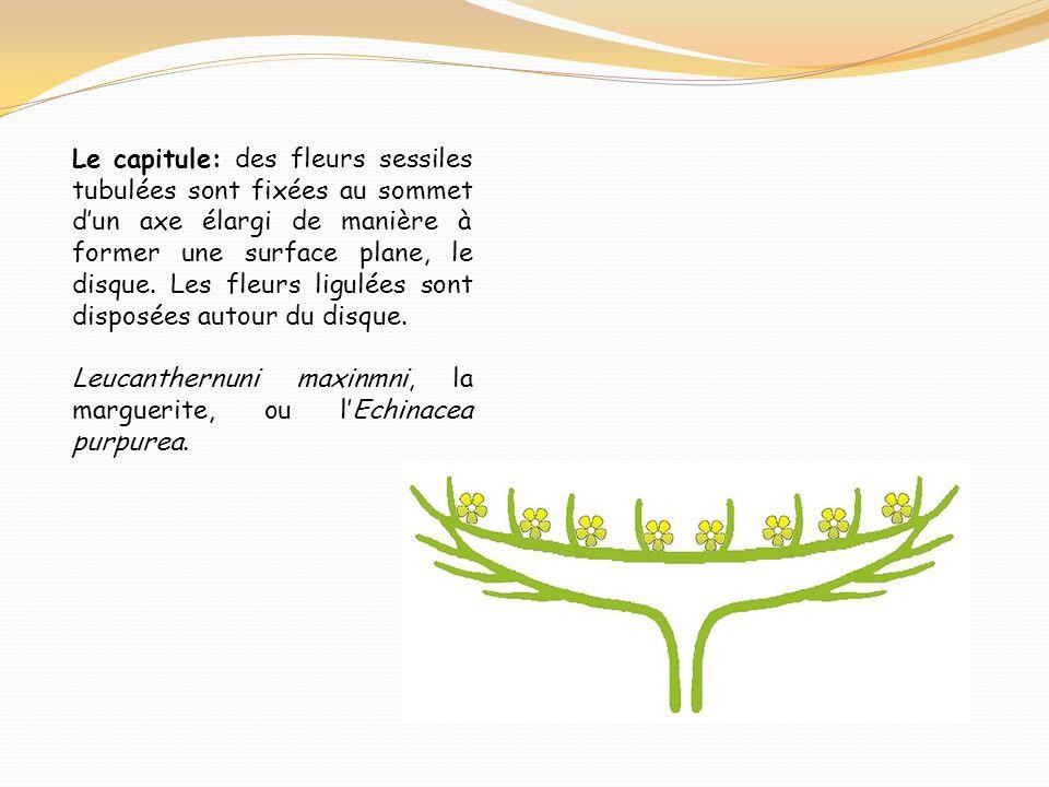 Le capitule: des fleurs sessiles tubulées sont fixées au sommet dun axe élargi de manière à former une surface plane, le disque. Les fleurs ligulées s