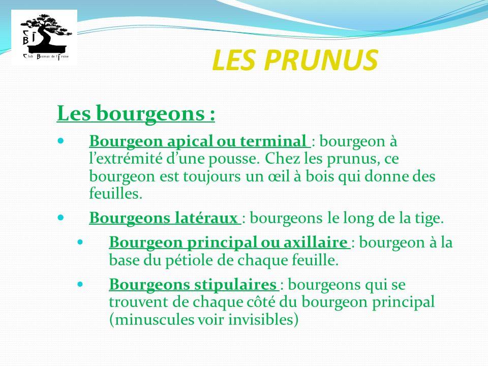 LES PRUNUS Les bourgeons : Bourgeon apical ou terminal : bourgeon à lextrémité dune pousse. Chez les prunus, ce bourgeon est toujours un œil à bois qu
