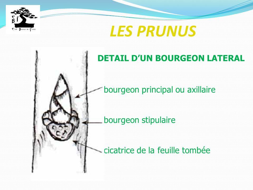 LES PRUNUS bourgeon principal ou axillaire bourgeon stipulaire cicatrice de la feuille tombée DETAIL DUN BOURGEON LATERAL