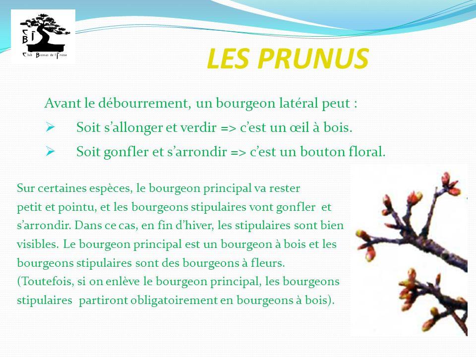 LES PRUNUS Sur certaines espèces, le bourgeon principal va rester petit et pointu, et les bourgeons stipulaires vont gonfler et sarrondir. Dans ce cas