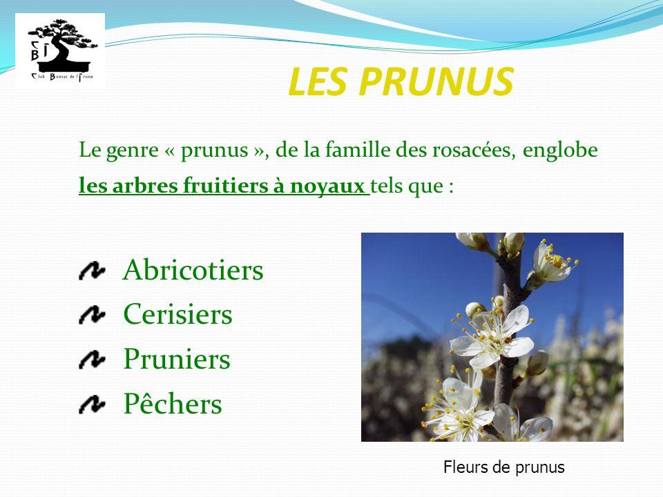 Le genre « prunus », de la famille des rosacées, englobe les arbres fruitiers à noyaux tels que : Abricotiers Cerisiers Pruniers Pêchers Fleurs de pru