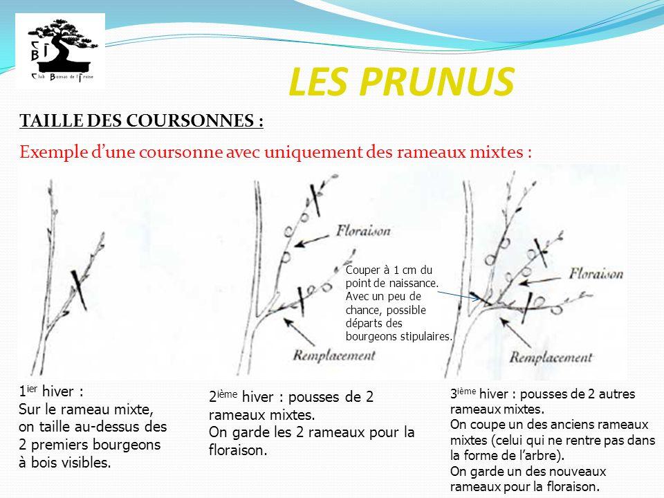 LES PRUNUS TAILLE DES COURSONNES : Exemple dune coursonne avec uniquement des rameaux mixtes : 1 ier hiver : Sur le rameau mixte, on taille au-dessus