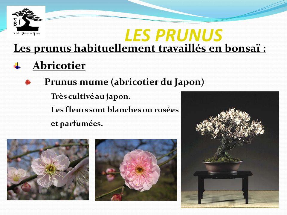 LES PRUNUS Les prunus habituellement travaillés en bonsaï : Abricotier Prunus mume (abricotier du Japon) Très cultivé au japon. Les fleurs sont blanch