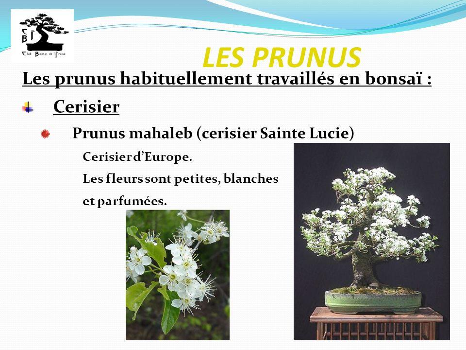 LES PRUNUS Les prunus habituellement travaillés en bonsaï : Cerisier Prunus mahaleb (cerisier Sainte Lucie) Cerisier dEurope. Les fleurs sont petites,