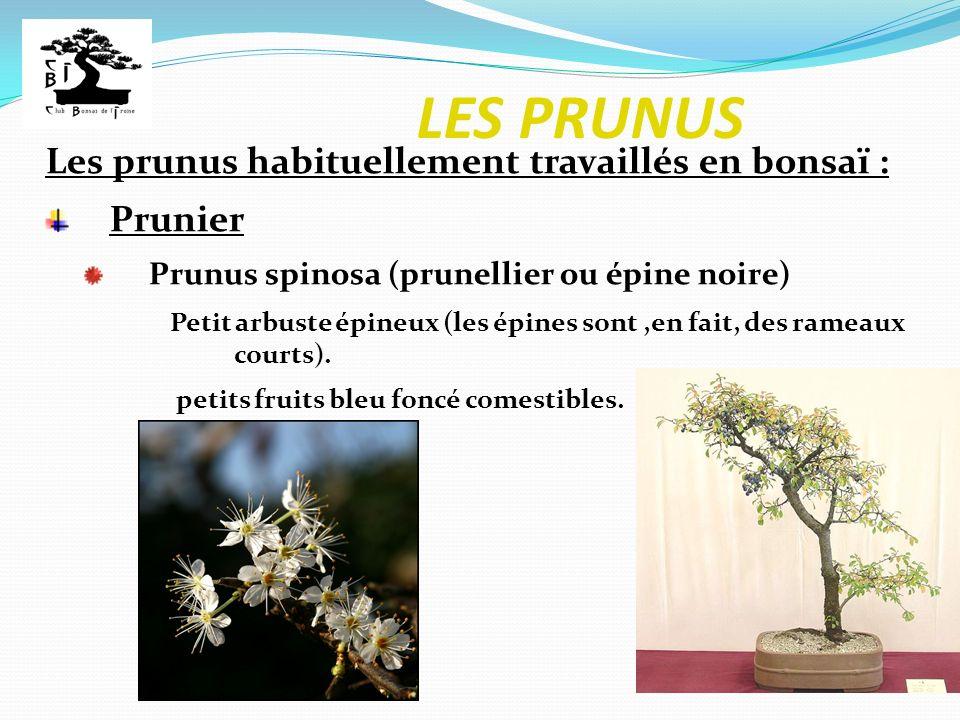 LES PRUNUS Les prunus habituellement travaillés en bonsaï : Prunier Prunus spinosa (prunellier ou épine noire) Petit arbuste épineux (les épines sont,