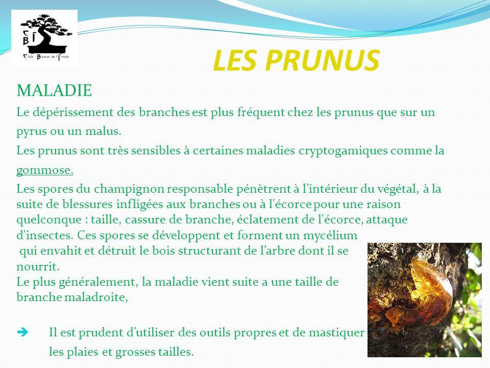LES PRUNUS Les prunus sont travaillés en bonsaï principalement pour leur floraison exceptionnelle.