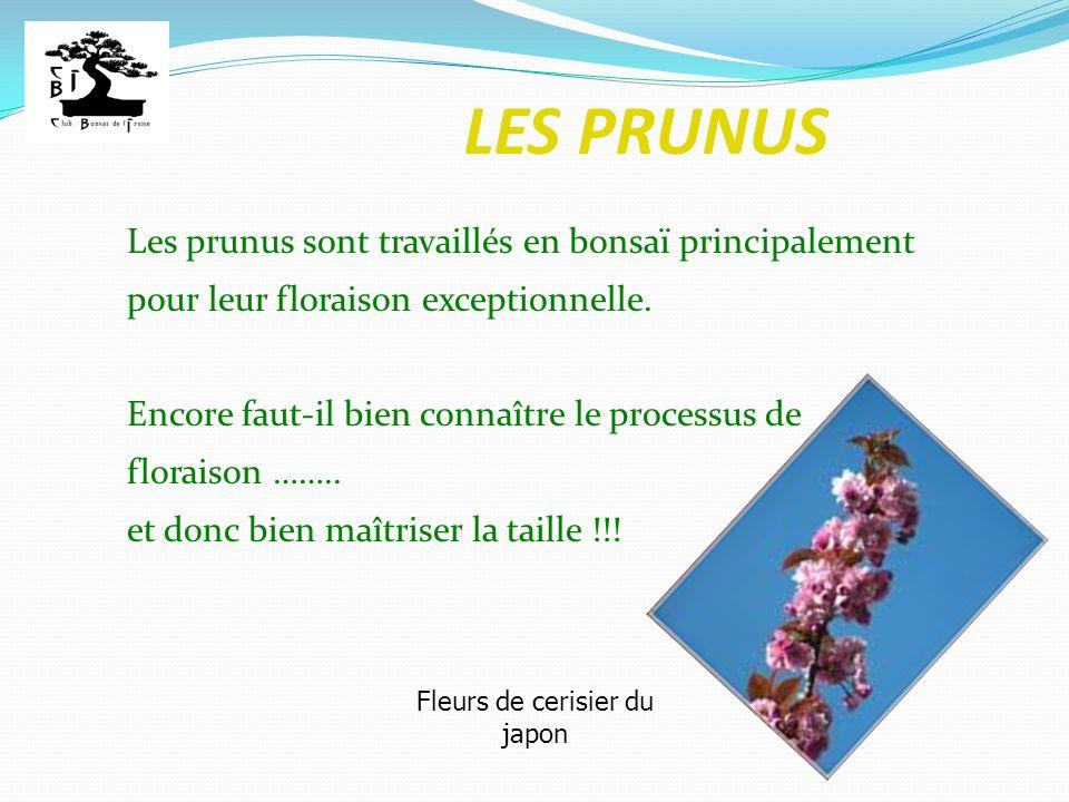 LES PRUNUS Les prunus sont travaillés en bonsaï principalement pour leur floraison exceptionnelle. Encore faut-il bien connaître le processus de flora