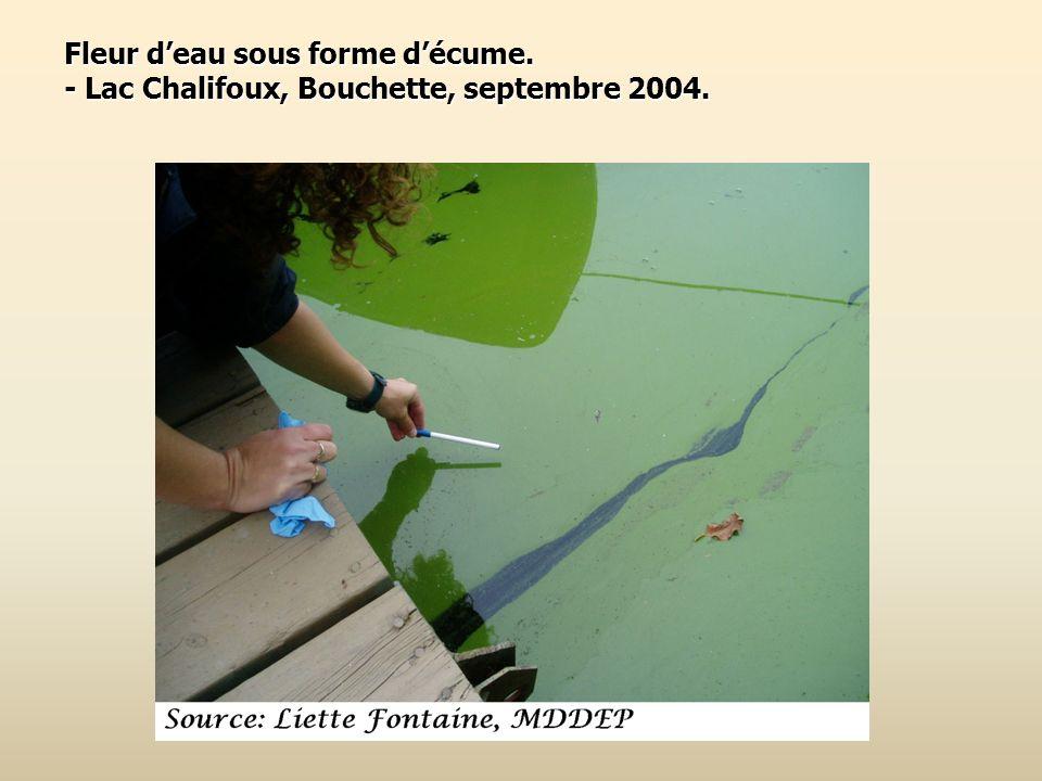 Fleur deau sous forme décume. - Lac Chalifoux, Bouchette, septembre 2004.
