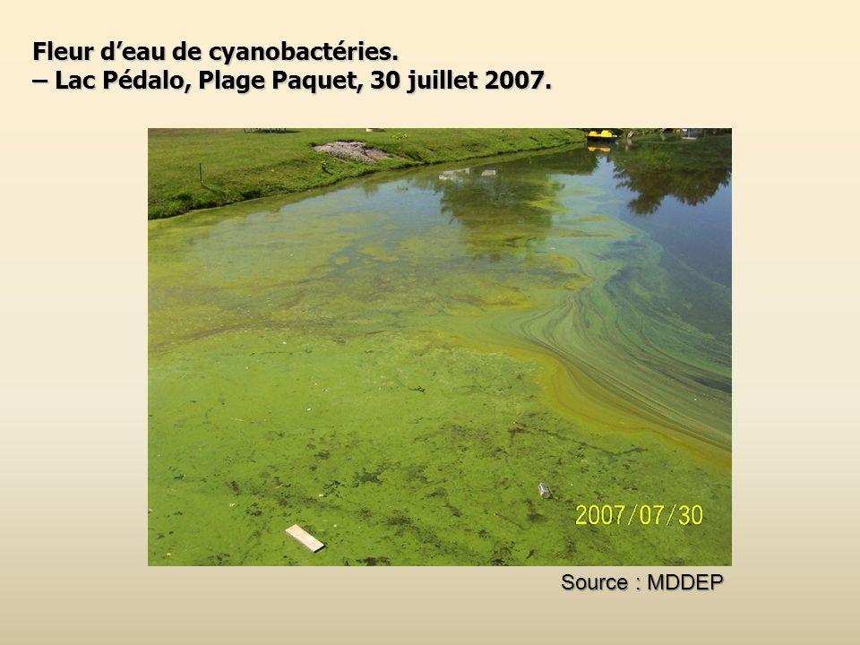 Fleur deau de cyanobactéries. – Lac Pédalo, Plage Paquet, 30 juillet 2007. Source : MDDEP