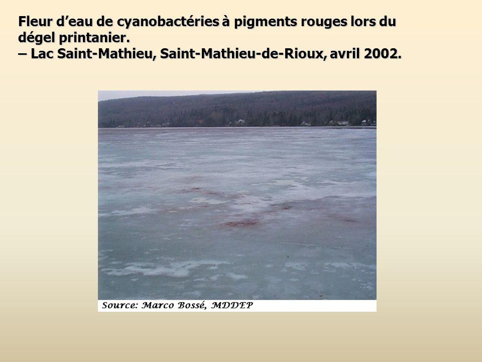 Fleur deau de cyanobactéries à pigments rouges lors du dégel printanier. – Lac Saint-Mathieu, Saint-Mathieu-de-Rioux, avril 2002.