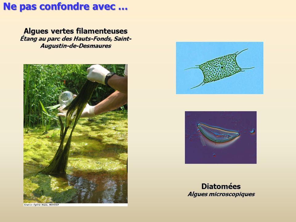 Algues vertes filamenteuses Étang au parc des Hauts-Fonds, Saint- Augustin-de-Desmaures Diatomées Algues microscopiques Ne pas confondre avec …