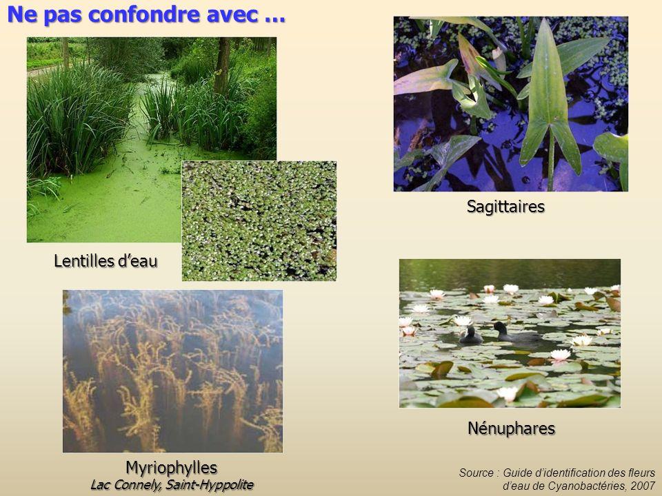 Lentilles deau Sagittaires Nénuphares Myriophylles Lac Connely, Saint-Hyppolite Source : Guide didentification des fleurs deau de Cyanobactéries, 2007