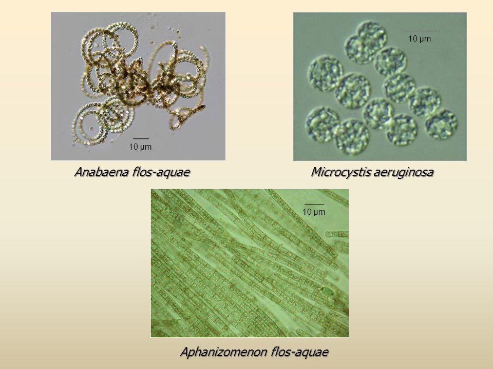 Microcystis aeruginosa Anabaena flos-aquae Aphanizomenon flos-aquae 10 μm
