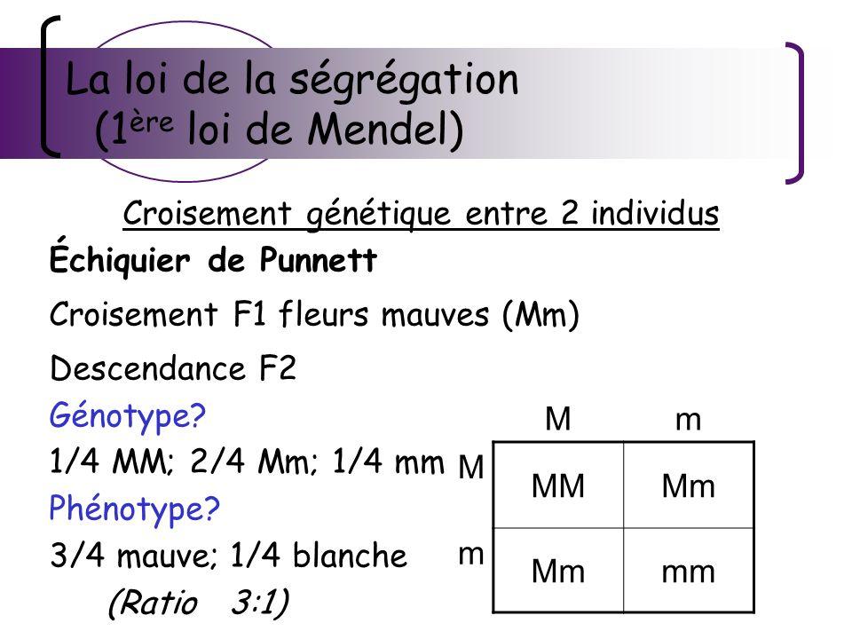 La loi de la ségrégation (1 ère loi de Mendel) Croisement génétique entre 2 individus Échiquier de Punnett Croisement F1 fleurs mauves (Mm) Descendanc