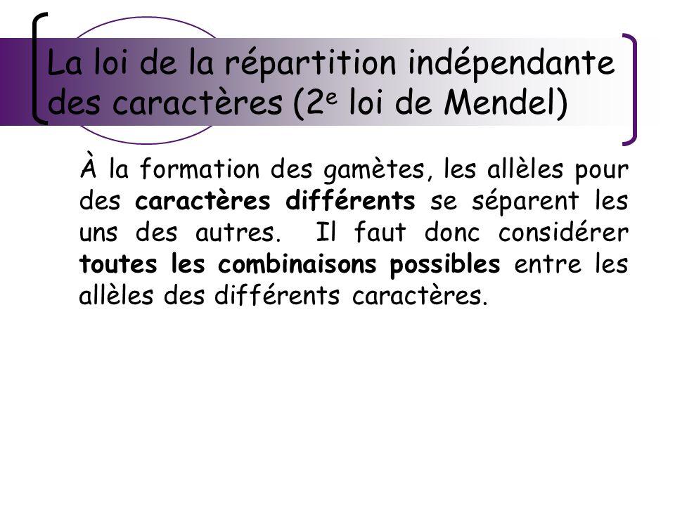 La loi de la répartition indépendante des caractères (2 e loi de Mendel) À la formation des gamètes, les allèles pour des caractères différents se sép