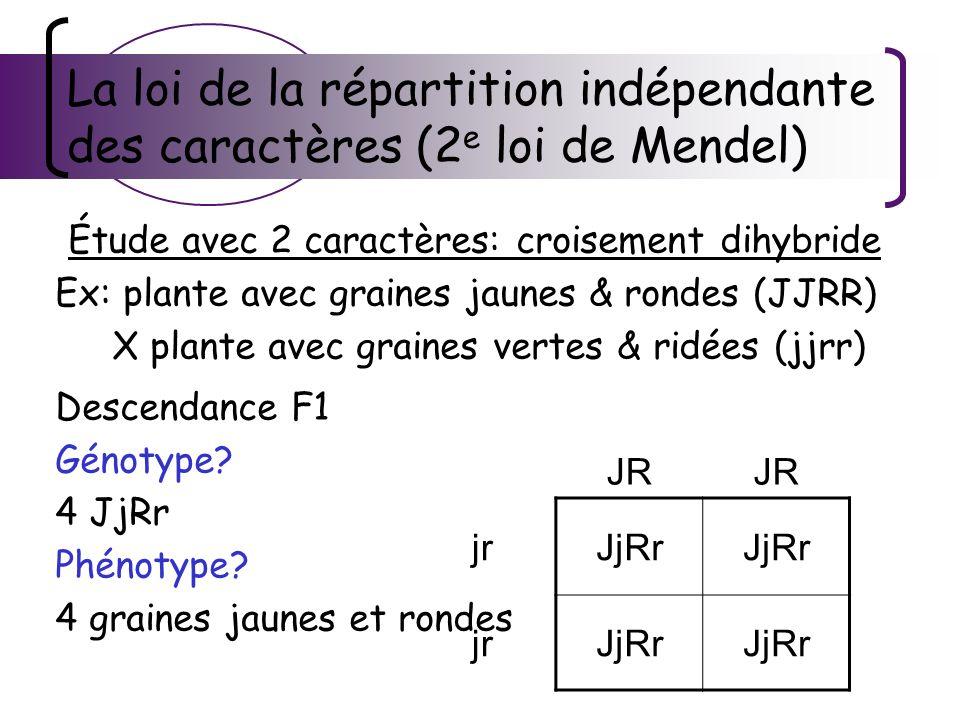 La loi de la répartition indépendante des caractères (2 e loi de Mendel) Étude avec 2 caractères: croisement dihybride Ex: plante avec graines jaunes