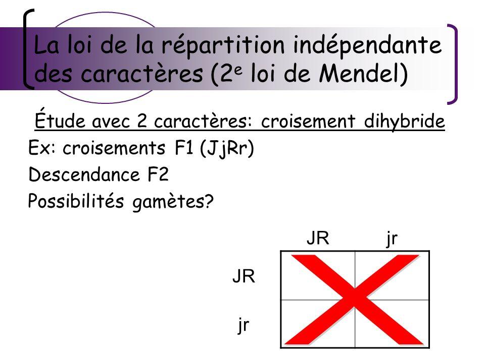 La loi de la répartition indépendante des caractères (2 e loi de Mendel) Étude avec 2 caractères: croisement dihybride Ex: croisements F1 (JjRr) Desce