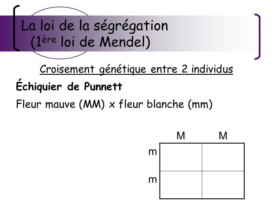 La loi de la ségrégation (1 ère loi de Mendel) Croisement génétique entre 2 individus Échiquier de Punnett Fleur mauve (MM) x fleur blanche (mm) MM m Mm m