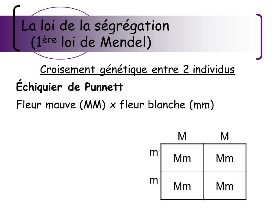 La loi de la ségrégation (1 ère loi de Mendel) Croisement génétique entre 2 individus Échiquier de Punnett Fleur mauve (MM) x fleur blanche (mm) Descendance F1 Génotype.