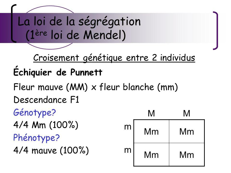 La loi de la ségrégation (1 ère loi de Mendel) Croisement génétique entre 2 individus Échiquier de Punnett Fleur mauve (MM) x fleur blanche (mm) Desce