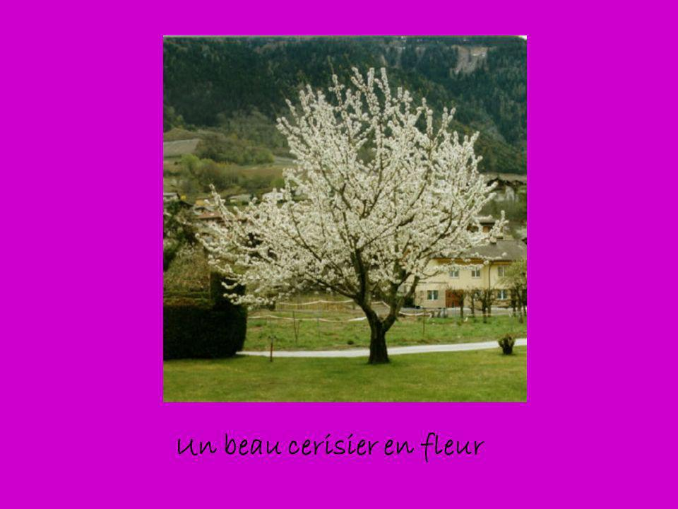 Un beau cerisier en fleur
