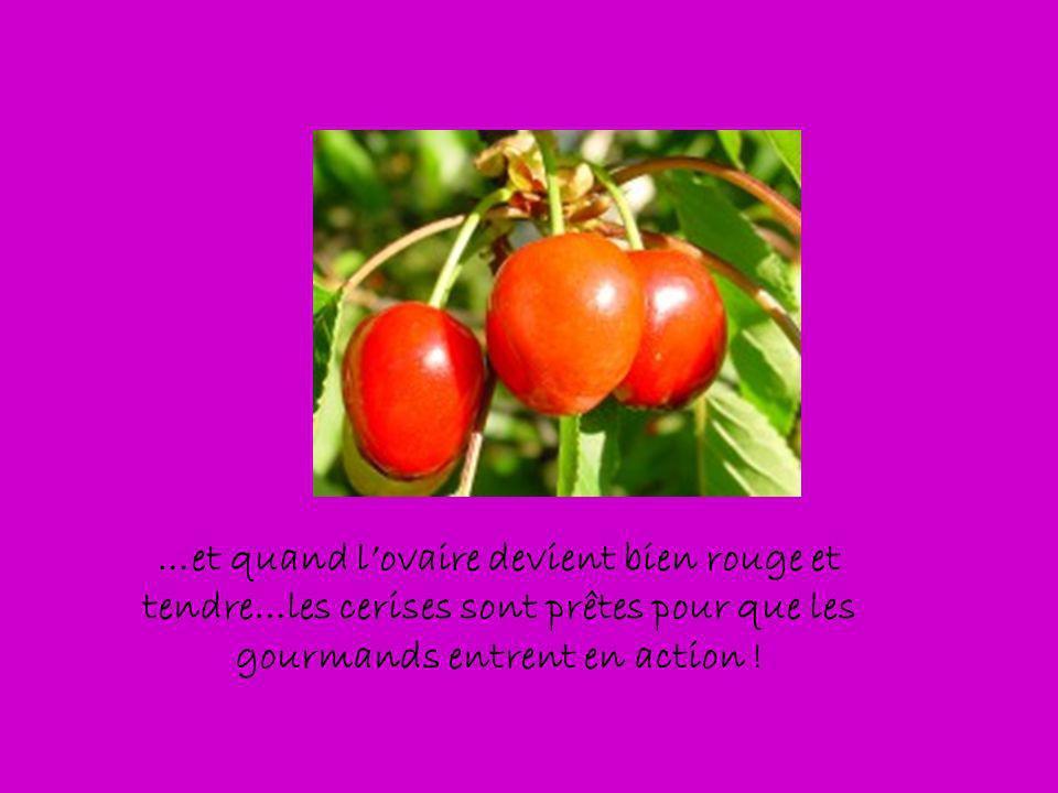 …et quand lovaire devient bien rouge et tendre…les cerises sont prêtes pour que les gourmands entrent en action !