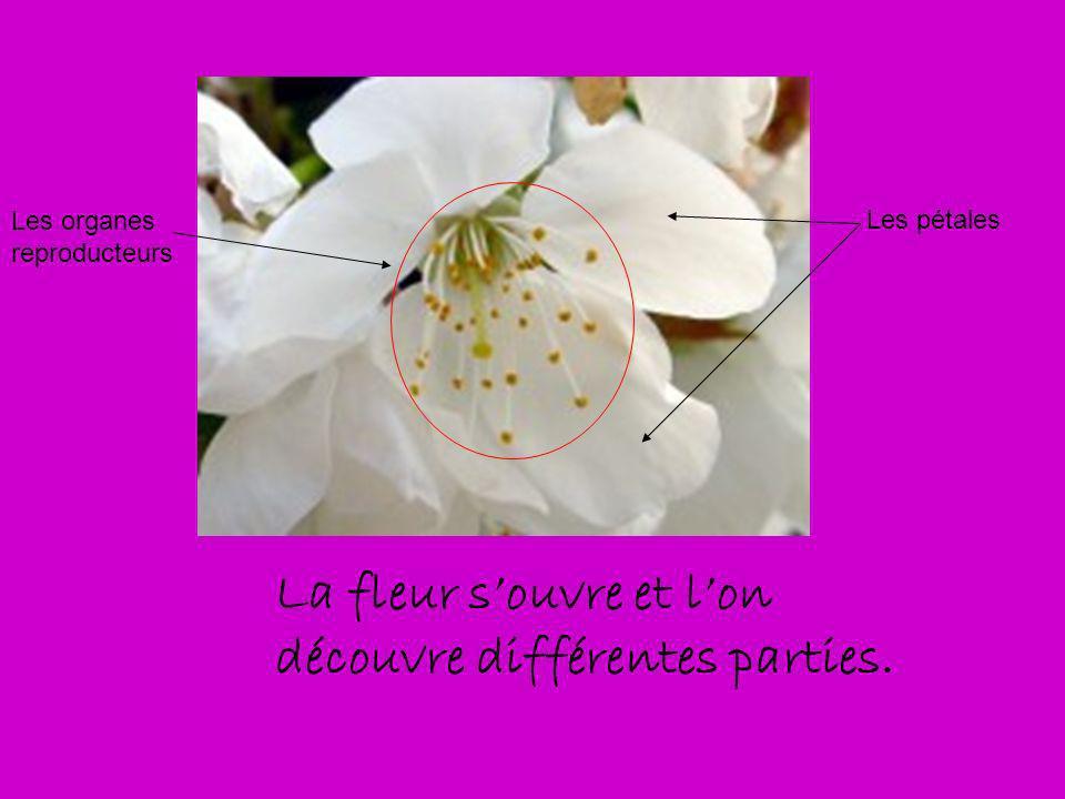La fleur souvre et lon découvre différentes parties. Les pétales Les organes reproducteurs