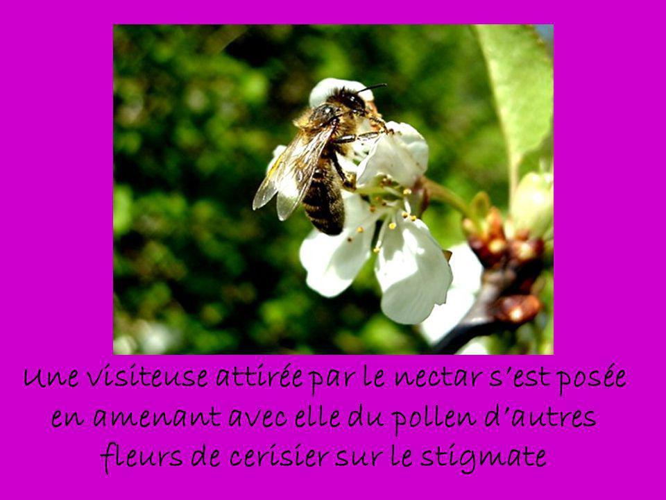 Une visiteuse attirée par le nectar sest posée en amenant avec elle du pollen dautres fleurs de cerisier sur le stigmate