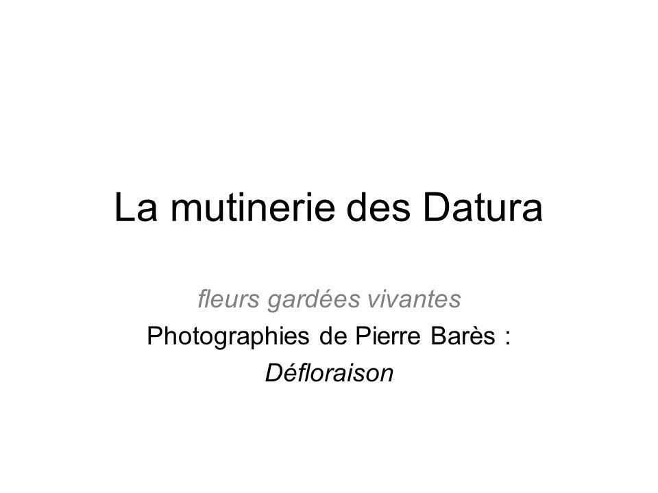 La mutinerie des Datura fleurs gardées vivantes Photographies de Pierre Barès : Défloraison