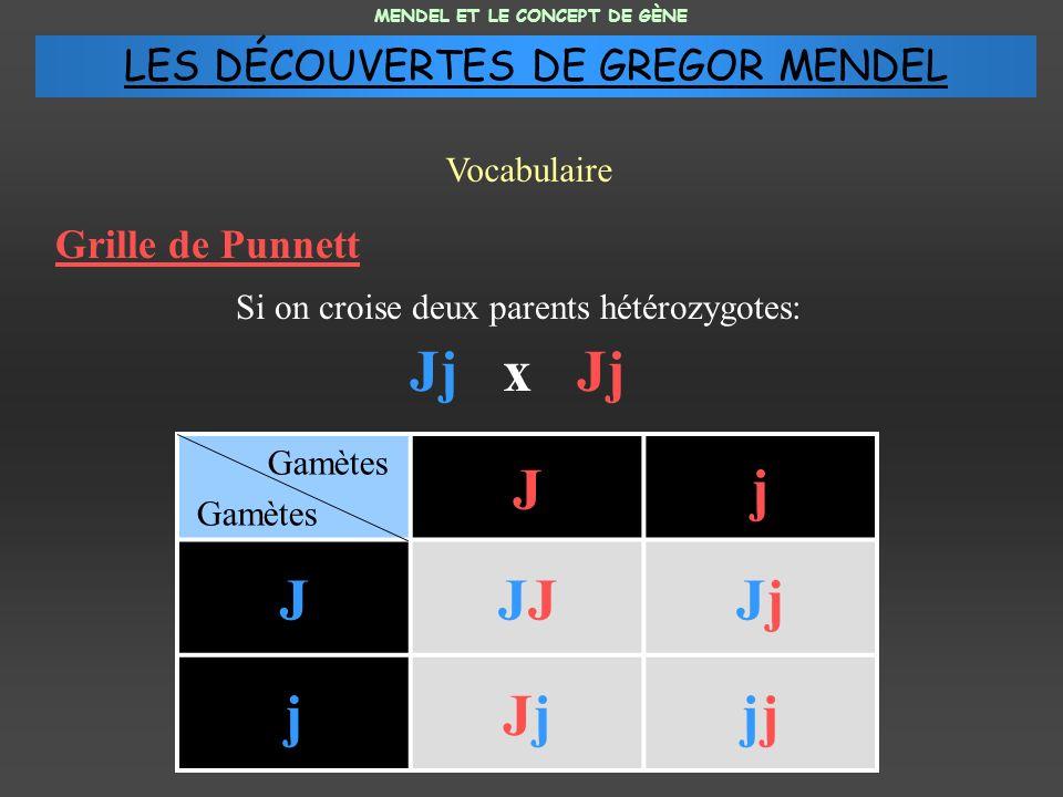 Grille de Punnett Si on croise deux parents hétérozygotes: Jj x Jj MENDEL ET LE CONCEPT DE GÈNE Vocabulaire Gamètes Jj JJJjJj jJjJjj LES DÉCOUVERTES DE GREGOR MENDEL
