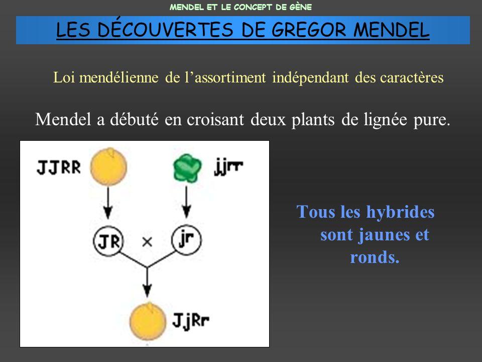 Mendel a débuté en croisant deux plants de lignée pure. Tous les hybrides sont jaunes et ronds. MENDEL ET LE CONCEPT DE GÈNE Loi mendélienne de lassor