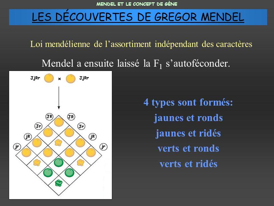 Mendel a ensuite laissé la F 1 sautoféconder. 4 types sont formés: jaunes et ronds jaunes et ridés verts et ronds verts et ridés MENDEL ET LE CONCEPT