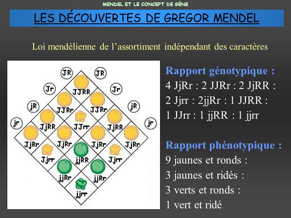Rapport génotypique : 4 JjRr : 2 JJRr : 2 JjRR : 2 Jjrr : 2jjRr : 1 JJRR : 1 JJrr : 1 jjRR : 1 jjrr Rapport phénotypique : 9 jaunes et ronds : 3 jaunes et ridés : 3 verts et ronds : 1 vert et ridé MENDEL ET LE CONCEPT DE GÈNE Loi mendélienne de lassortiment indépendant des caractères LES DÉCOUVERTES DE GREGOR MENDEL