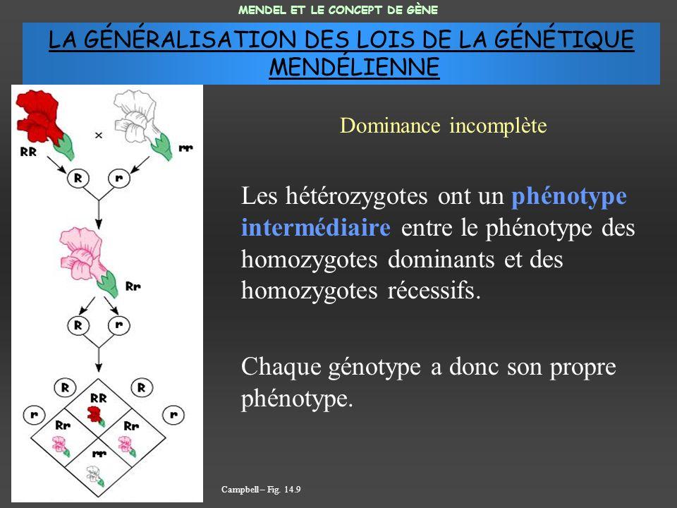 Les hétérozygotes ont un phénotype intermédiaire entre le phénotype des homozygotes dominants et des homozygotes récessifs. Chaque génotype a donc son