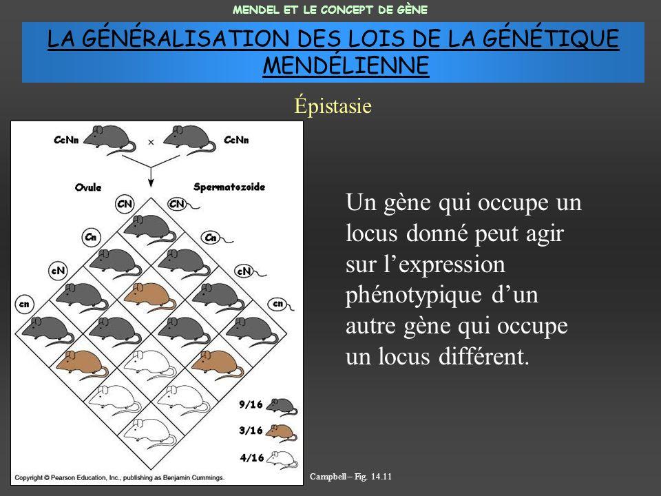 Un gène qui occupe un locus donné peut agir sur lexpression phénotypique dun autre gène qui occupe un locus différent.