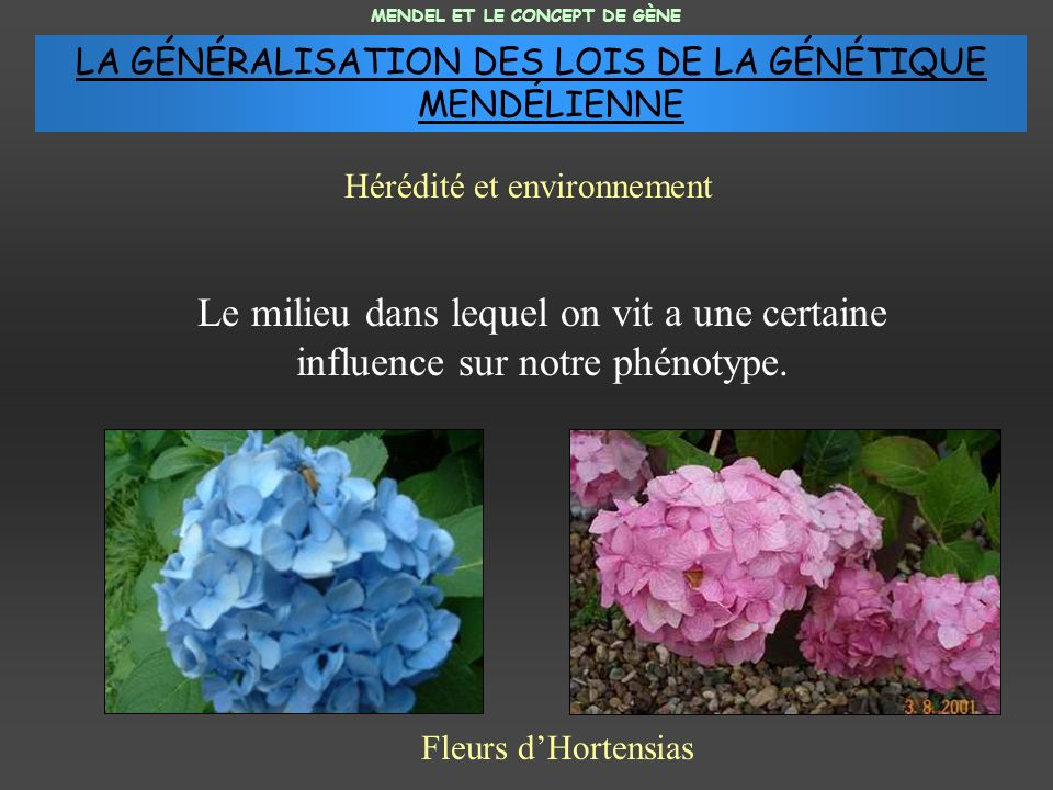 Le milieu dans lequel on vit a une certaine influence sur notre phénotype. Fleurs dHortensias MENDEL ET LE CONCEPT DE GÈNE Hérédité et environnement L