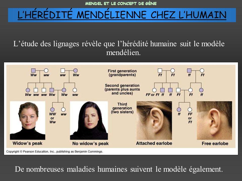 Létude des lignages révèle que lhérédité humaine suit le modèle mendélien. De nombreuses maladies humaines suivent le modèle également. MENDEL ET LE C