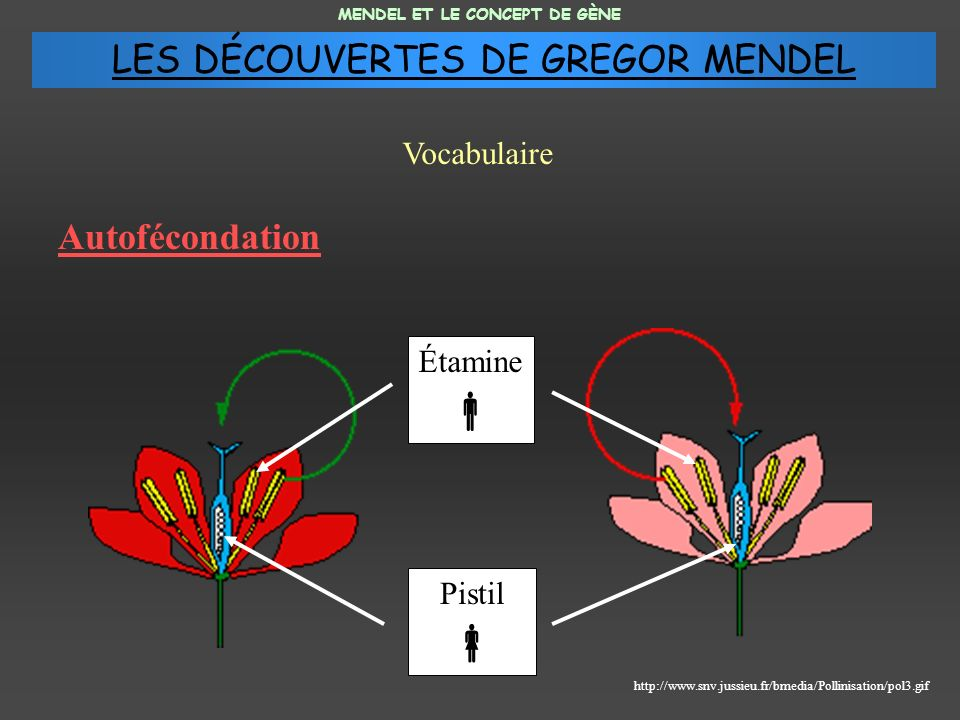 Autofécondation MENDEL ET LE CONCEPT DE GÈNE Vocabulaire http://www.snv.jussieu.fr/bmedia/Pollinisation/pol3.gif Pistil Étamine LES DÉCOUVERTES DE GRE