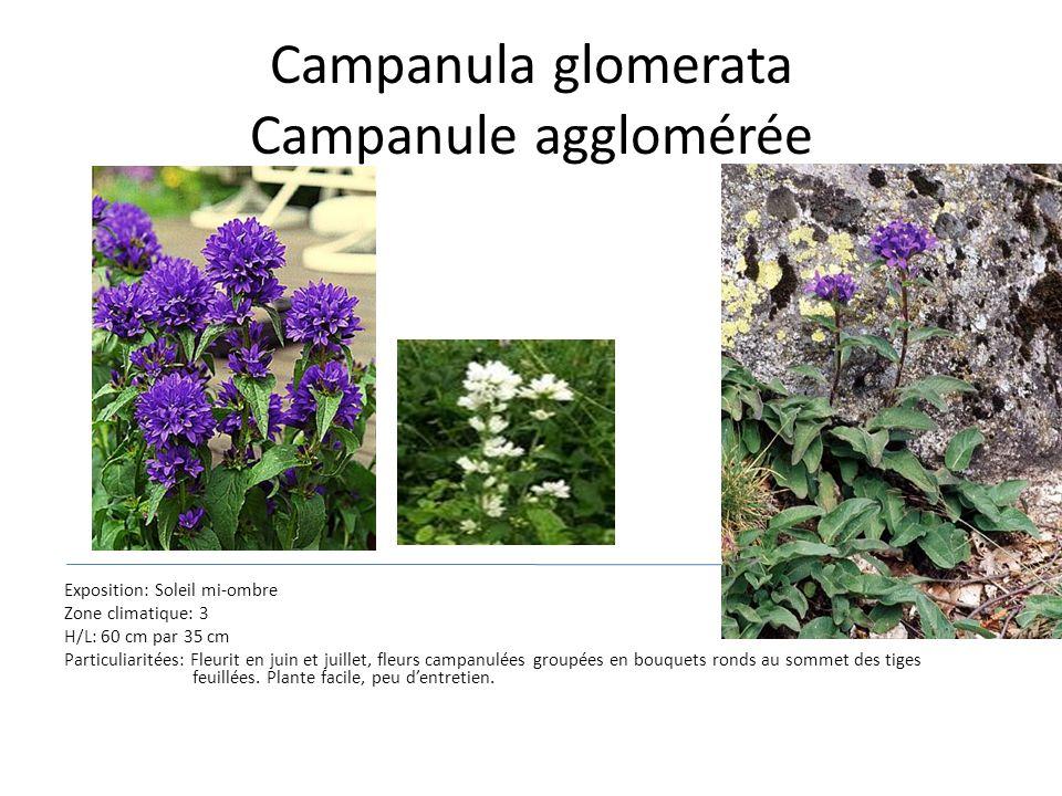 Campanula glomerata Campanule agglomérée Exposition: Soleil mi-ombre Zone climatique: 3 H/L: 60 cm par 35 cm Particuliaritées: Fleurit en juin et juil