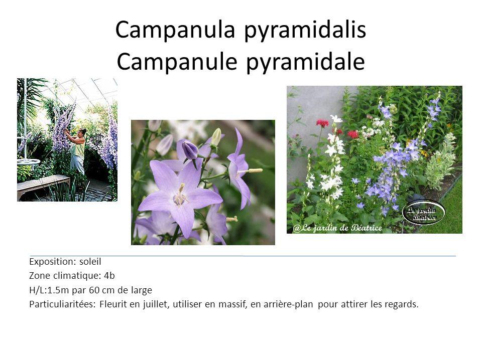 Campanula pyramidalis Campanule pyramidale Exposition: soleil Zone climatique: 4b H/L:1.5m par 60 cm de large Particuliaritées: Fleurit en juillet, ut