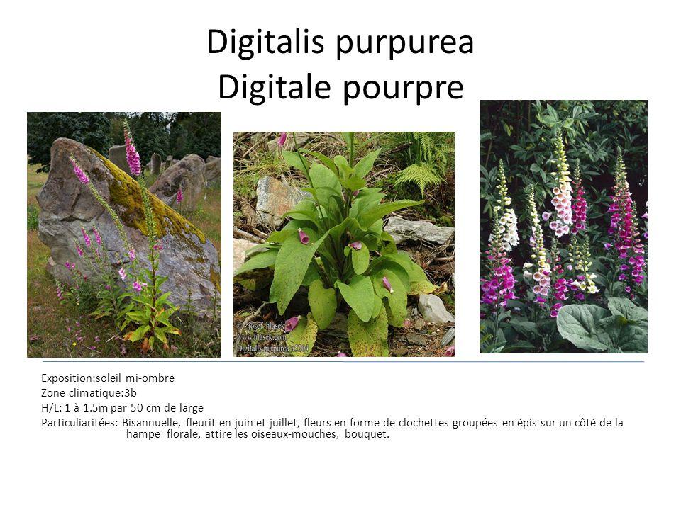 Digitalis purpurea Digitale pourpre Exposition:soleil mi-ombre Zone climatique:3b H/L: 1 à 1.5m par 50 cm de large Particuliaritées: Bisannuelle, fleu