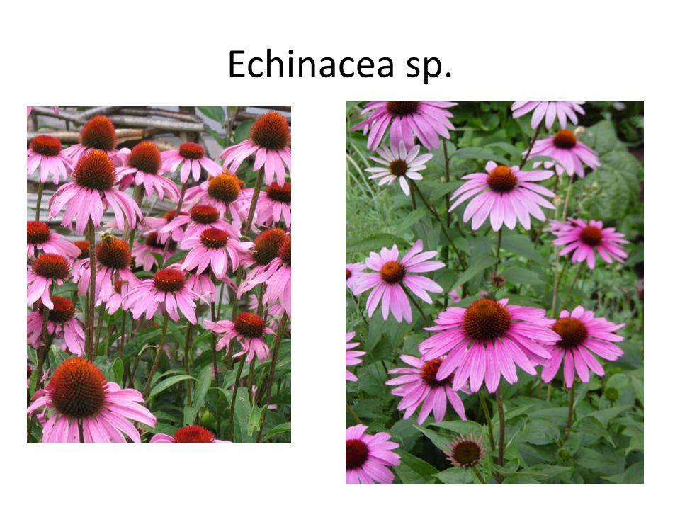 Echinacea sp.
