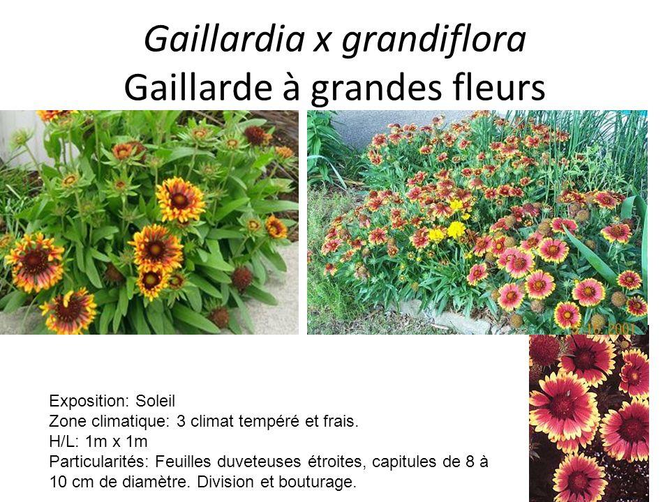 Gaillardia x grandiflora Gaillarde à grandes fleurs Exposition: Soleil Zone climatique: 3 climat tempéré et frais. H/L: 1m x 1m Particularités: Feuill