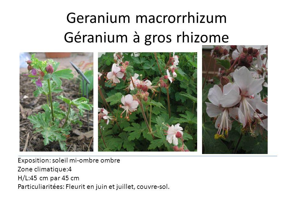 Geranium macrorrhizum Géranium à gros rhizome Exposition: soleil mi-ombre ombre Zone climatique:4 H/L:45 cm par 45 cm Particuliaritées: Fleurit en jui
