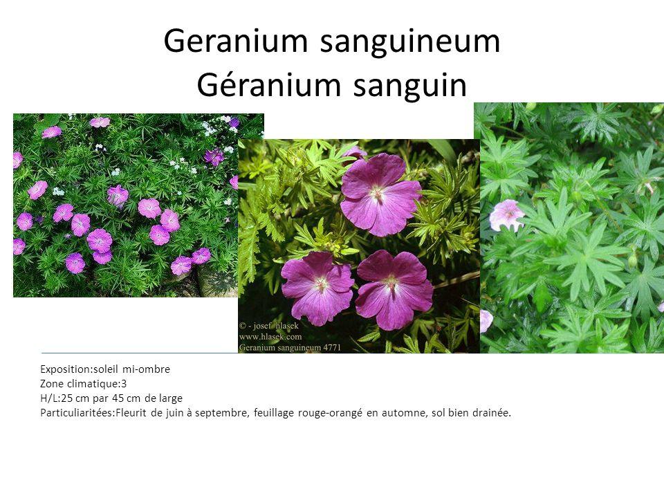 Geranium sanguineum Géranium sanguin Exposition:soleil mi-ombre Zone climatique:3 H/L:25 cm par 45 cm de large Particuliaritées:Fleurit de juin à sept