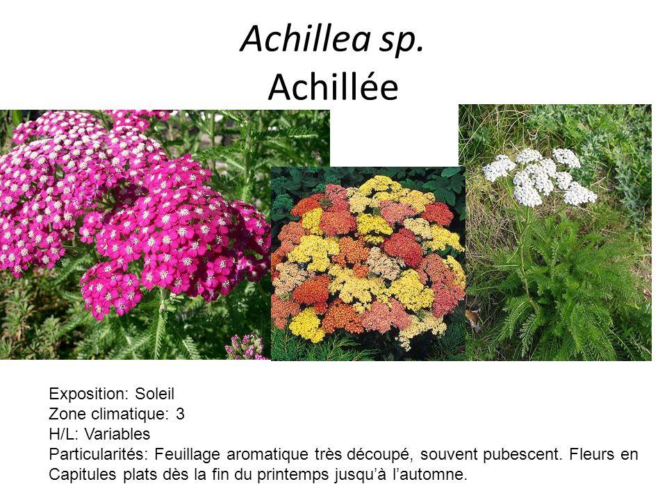 Achillea sp. Achillée Exposition: Soleil Zone climatique: 3 H/L: Variables Particularités: Feuillage aromatique très découpé, souvent pubescent. Fleur