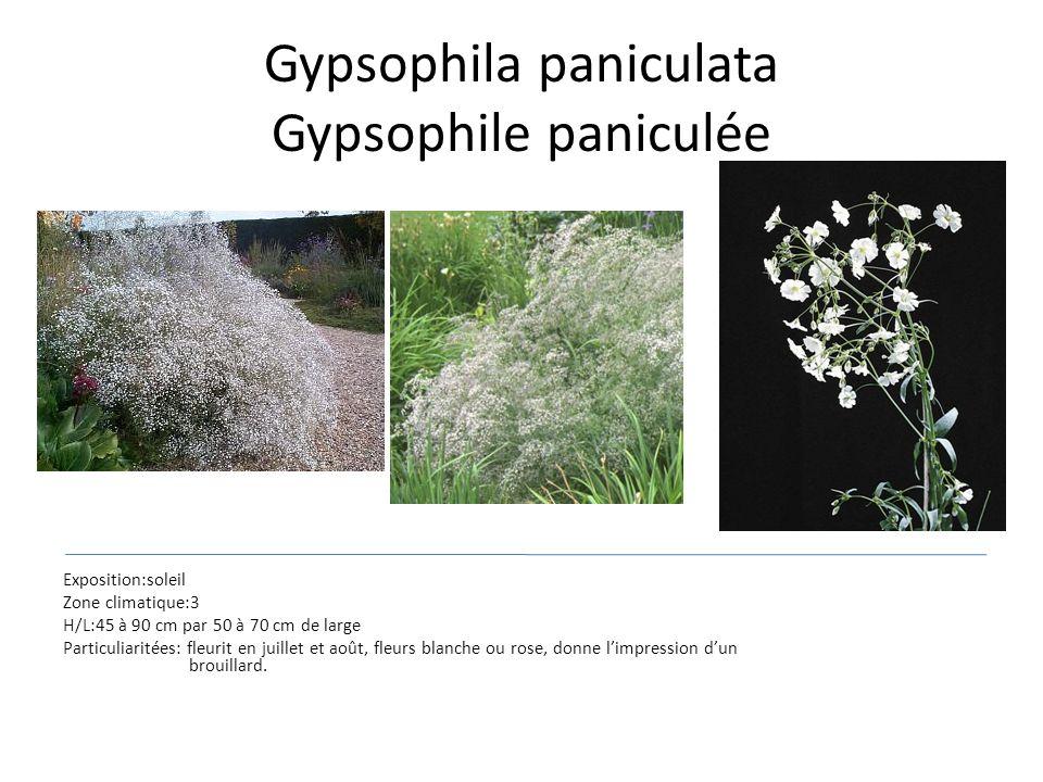 Gypsophila paniculata Gypsophile paniculée Exposition:soleil Zone climatique:3 H/L:45 à 90 cm par 50 à 70 cm de large Particuliaritées: fleurit en jui
