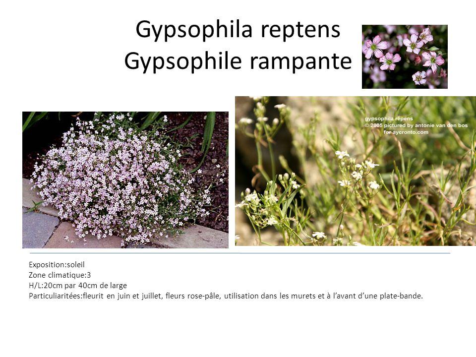 Gypsophila reptens Gypsophile rampante Exposition:soleil Zone climatique:3 H/L:20cm par 40cm de large Particuliaritées:fleurit en juin et juillet, fle