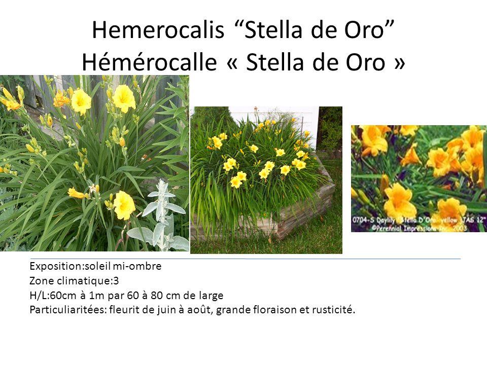 Hemerocalis Stella de Oro Hémérocalle « Stella de Oro » Exposition:soleil mi-ombre Zone climatique:3 H/L:60cm à 1m par 60 à 80 cm de large Particuliar