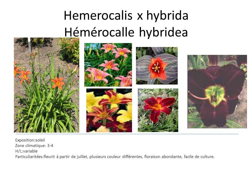 Hemerocalis x hybrida Hémérocalle hybridea Exposition:soleil Zone climatique: 3-4 H/L:variable Particuliaritées:fleurit à partir de juillet, plusieurs